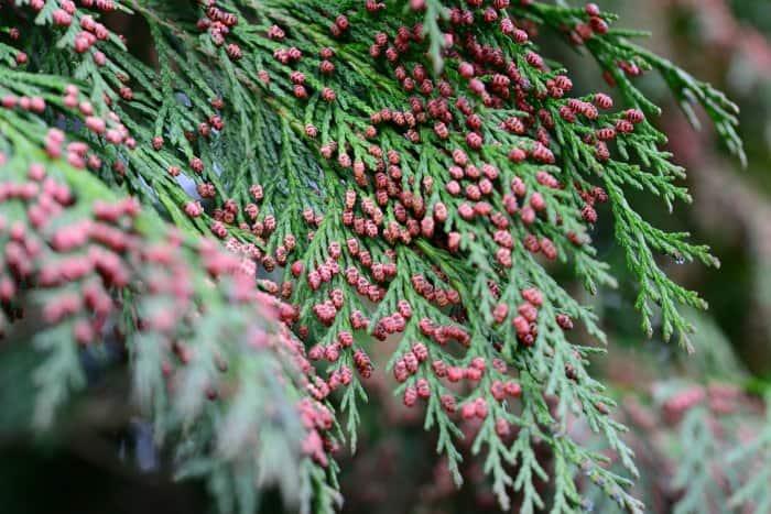 cedar tree foliage