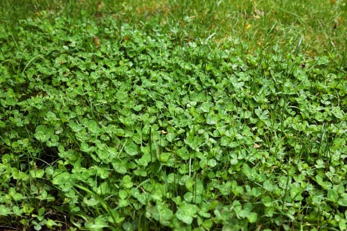 Clover indicates your lawn is healthy. (Photo courtesy of Melissa Caughey/Tilly's Nest)