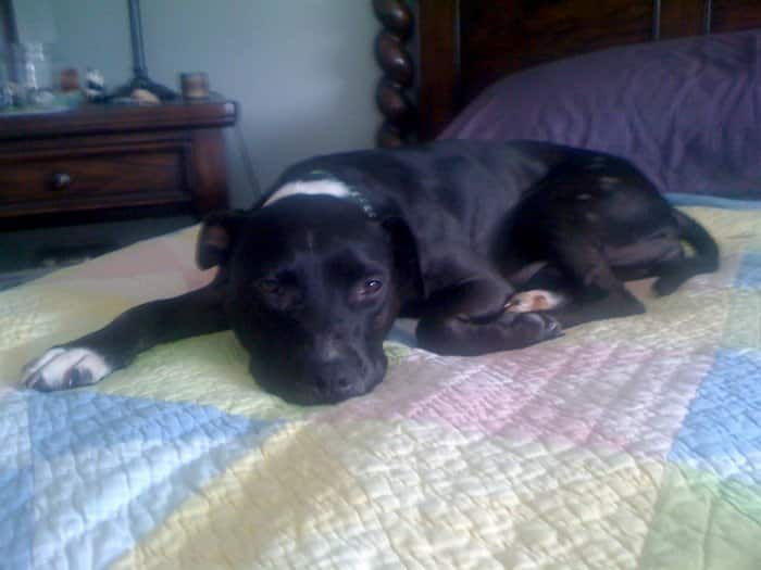 Angie's List member Renee Bowe's rescued dog, Friday, laying on bed.