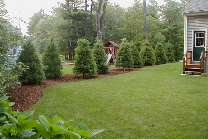 Evergreen trees along a property line.