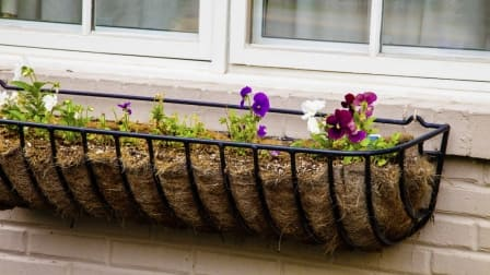 Pansies in flower box under old house window.