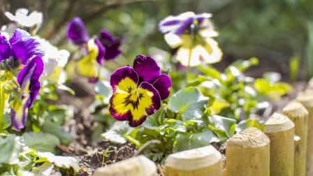 Flower bed with pansies and vertical log edging.