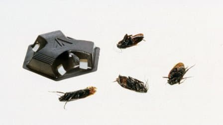 Dead cockroaches around roach motel