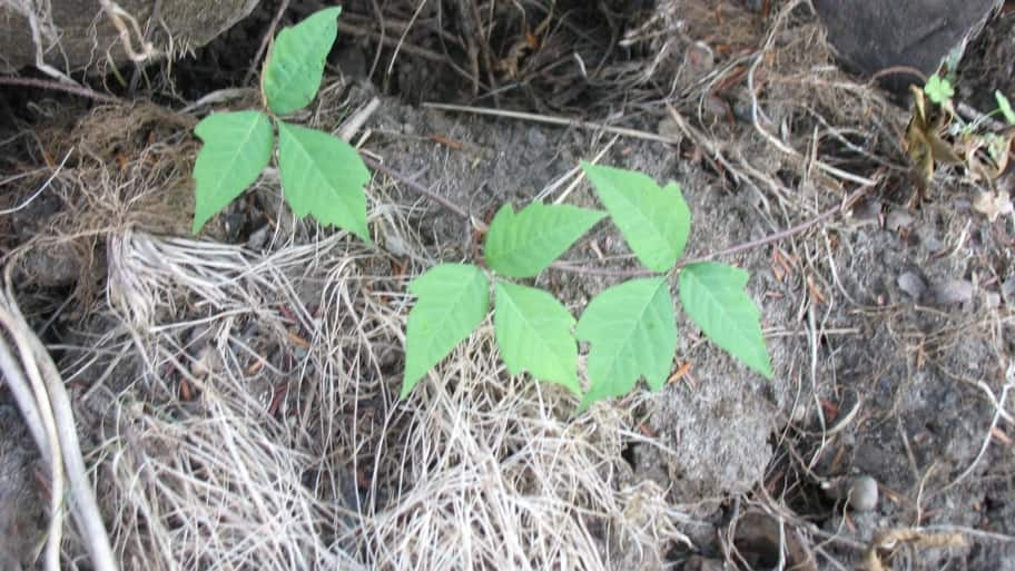 young poison ivy plant growing on log pile