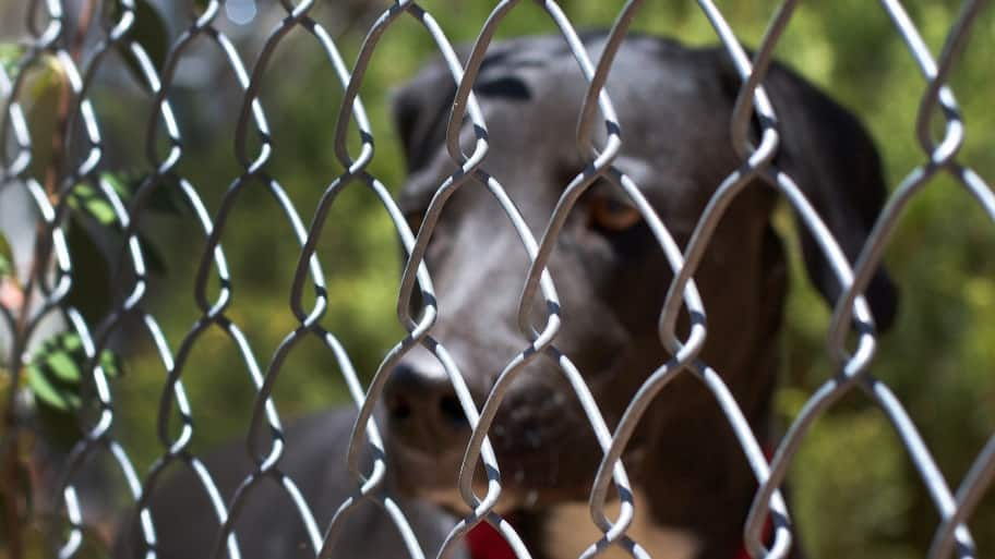 A black dog behind a chain link fence
