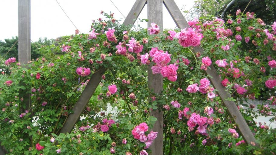 Flowering vines and climbing plants for pergolas and trellises flowering vines climbing plants for pergolas and trellises mightylinksfo