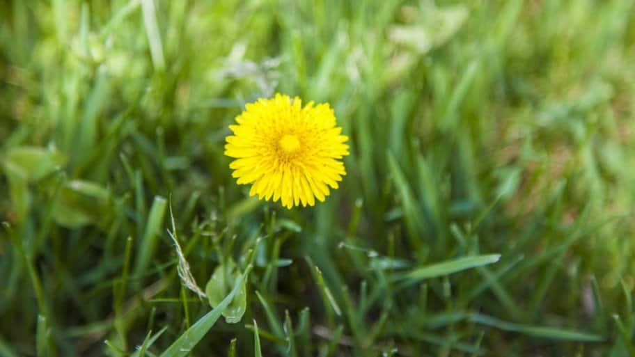 A yellow dandelion in grass
