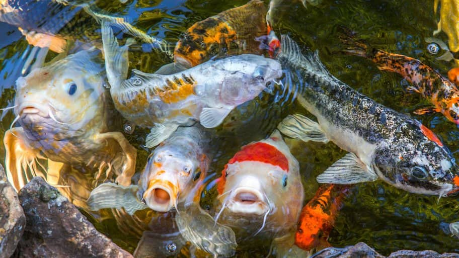 How To Pond Fish And Keep Them Alive Koi