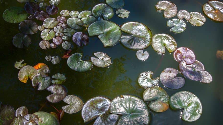 Lilypads in a koi pond