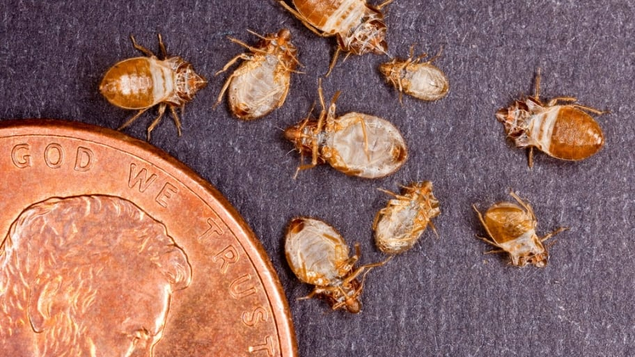 Size of bed bugs. How Much Does Bed Bug Extermination Cost    Angie s List