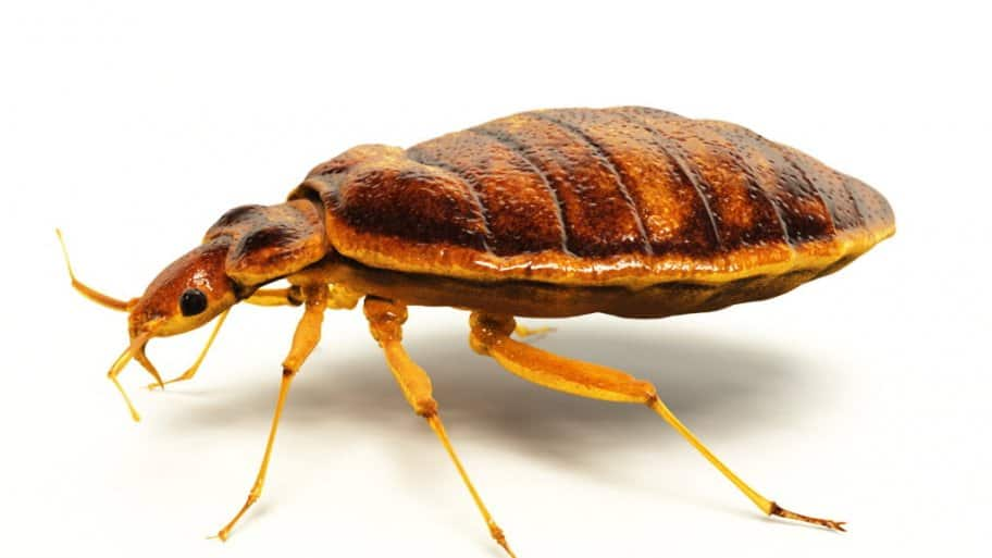 How To Kill Bed Bugs Angie S List