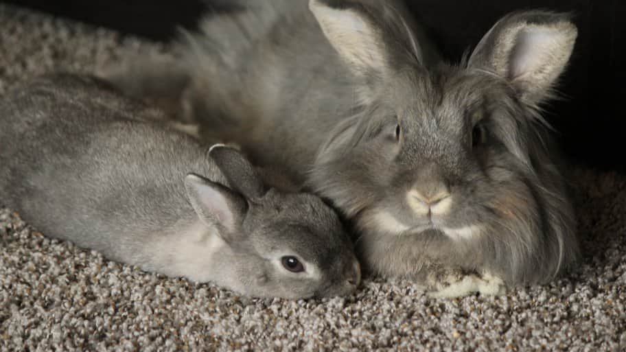 grey-haired bunnies on grey carpet