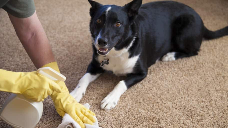 dog stain carpet cleaning