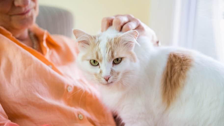 adult cat in woman's lap
