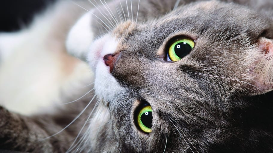 gray and white cat with green eyes