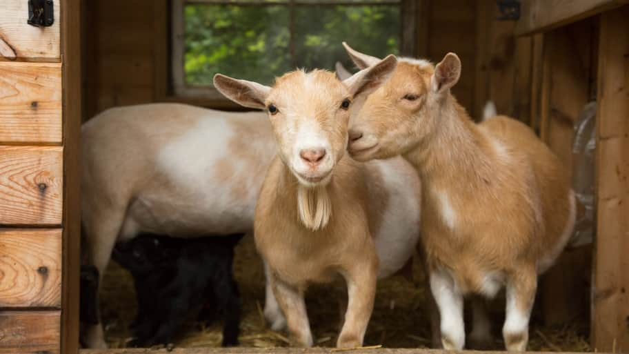rent a goat to clear brush and maintain your lawn angie s list