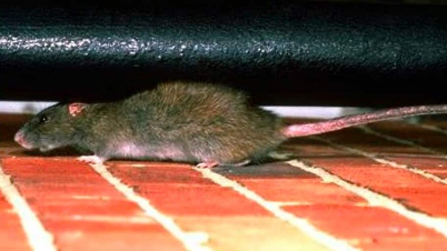 As temperatures drop in the Chicago area, mice are hard at work looking for a way inside your home. (Photo courtesy of Pest Now, Sterling, Va.)