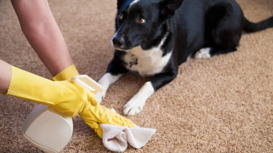 dog looking guilty while owner cleans up urine on carpet