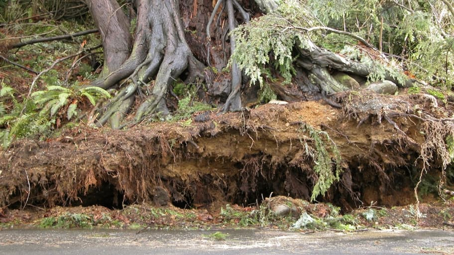 storm damaged tree with severed roots
