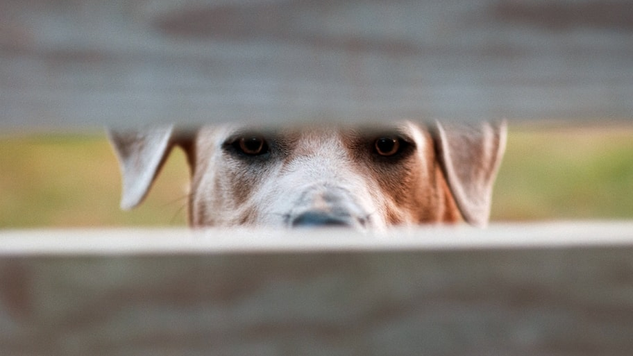 dog looking through a wooden fence