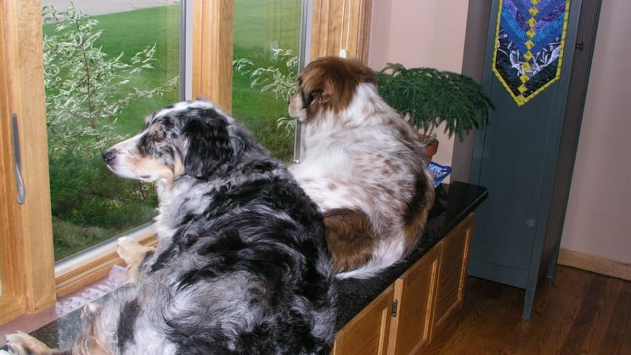 dogs on window sill