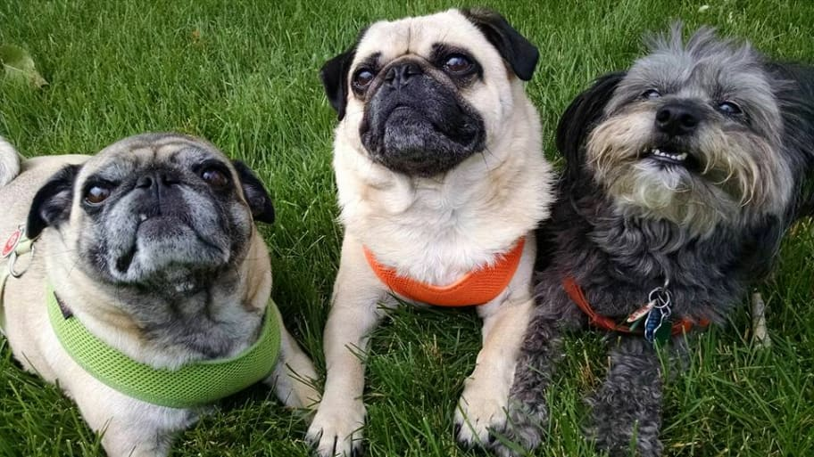 two pugs and a gray dog