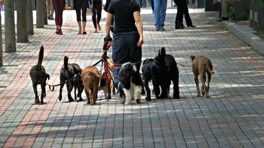 Dog walker walking a lot of dogs