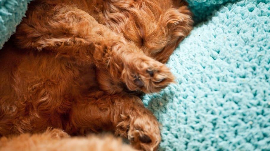 sleeping labradoodle puppy