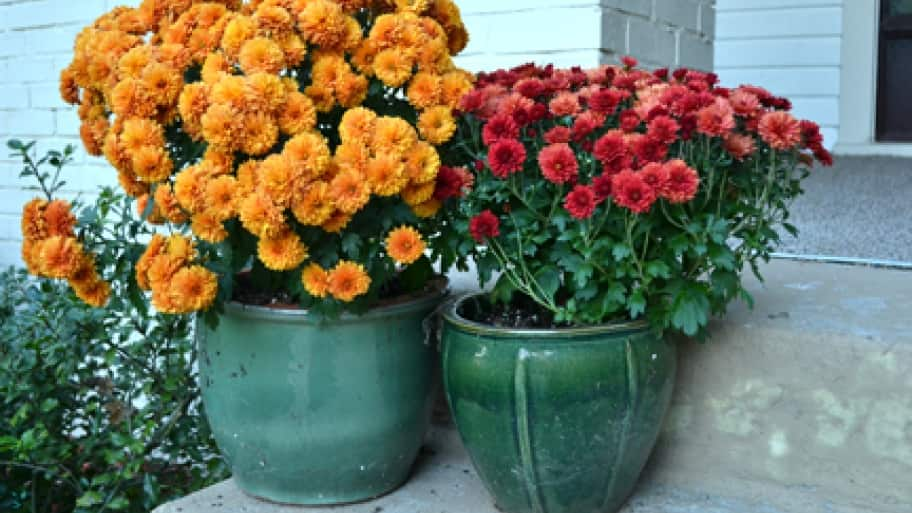 why mums are the perfect fall flower angie s list