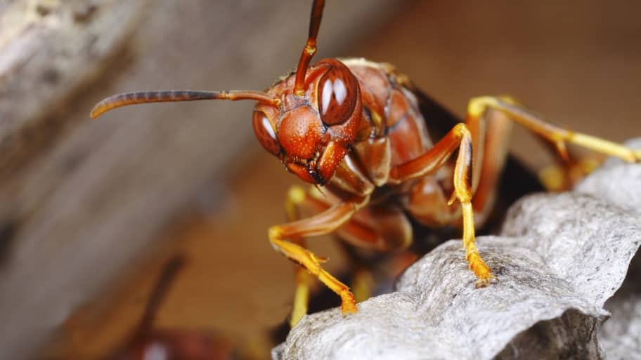 Tips to Safely Remove a Wasp Nest | Angie's List