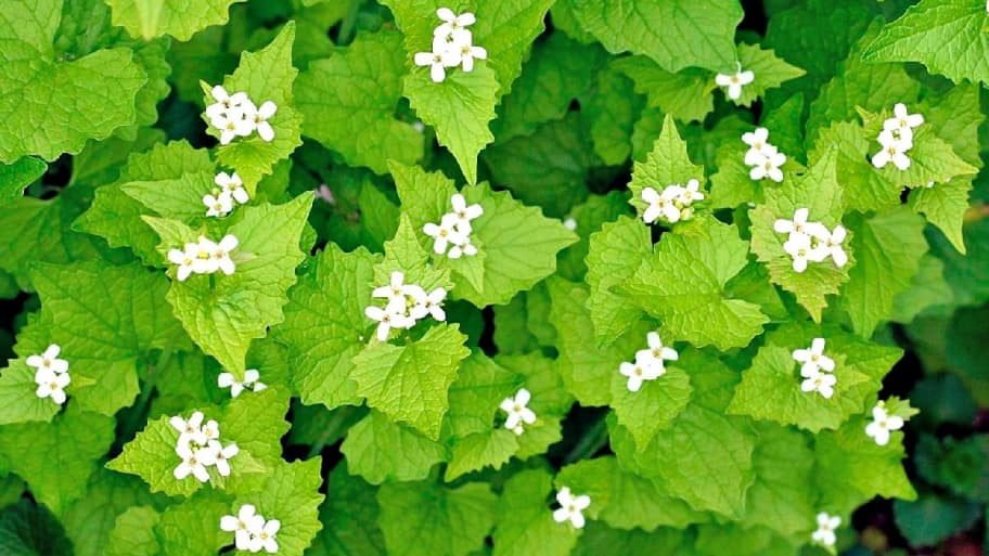3 Invasive Plants To Keep Out Of Your Yard Angie S List