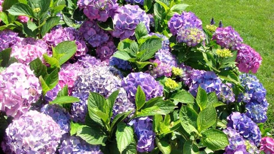 Indianapolis Gardeners Recommend Native Hydrangeas Angie