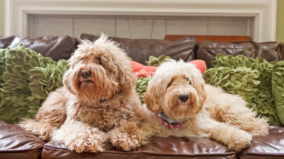 two labradoodles on couch