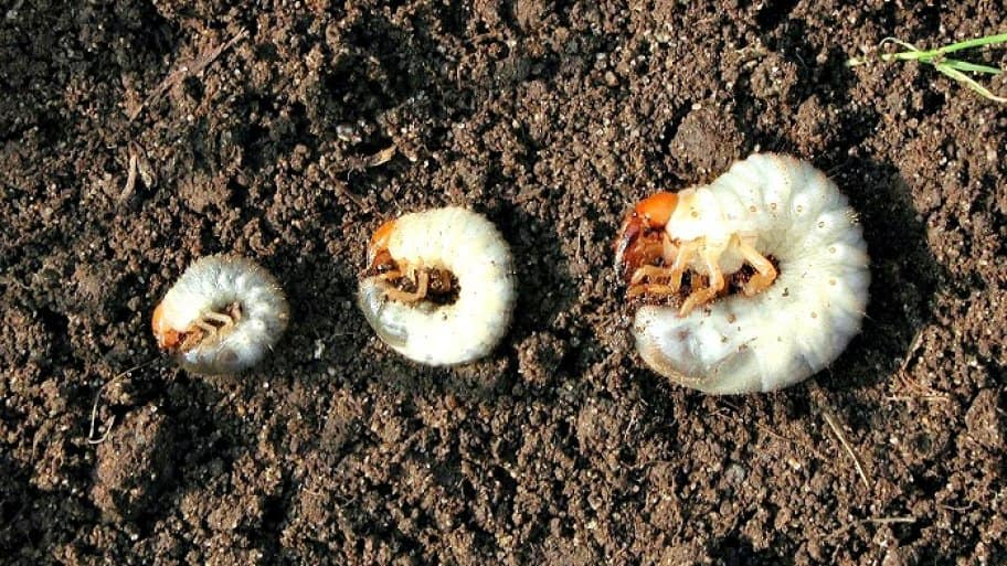 How To Get Rid Of Lawn Grubs Angie S List