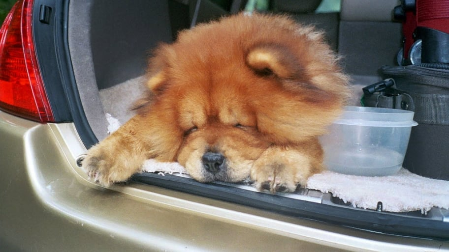 Cute Chow dog riding in the back of a car