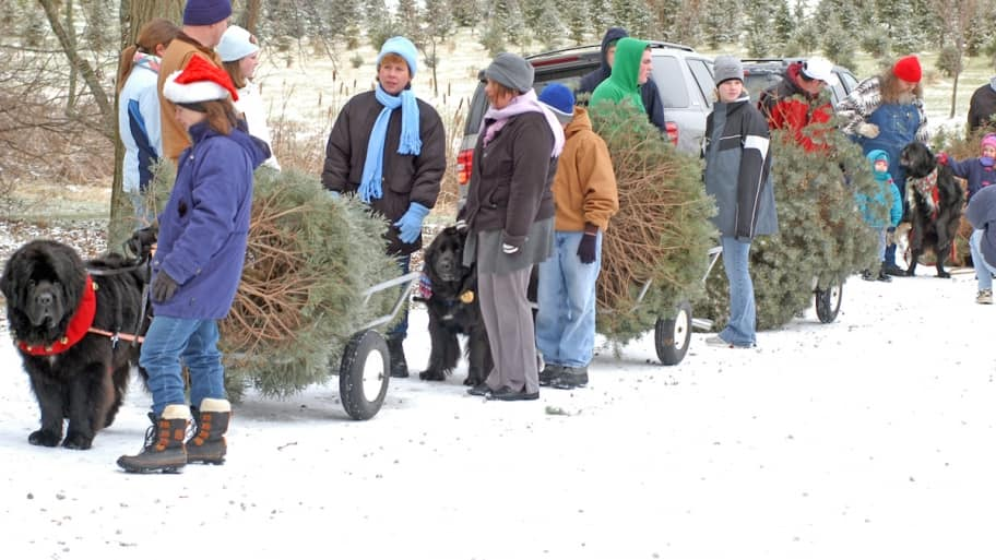 newfoundland dogs pulling carts with christmas trees