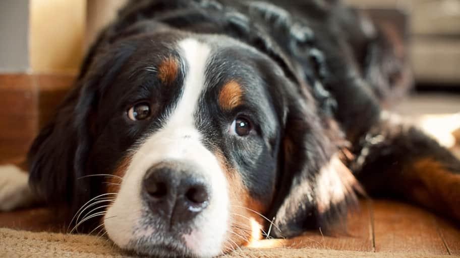 dog looking sad inside