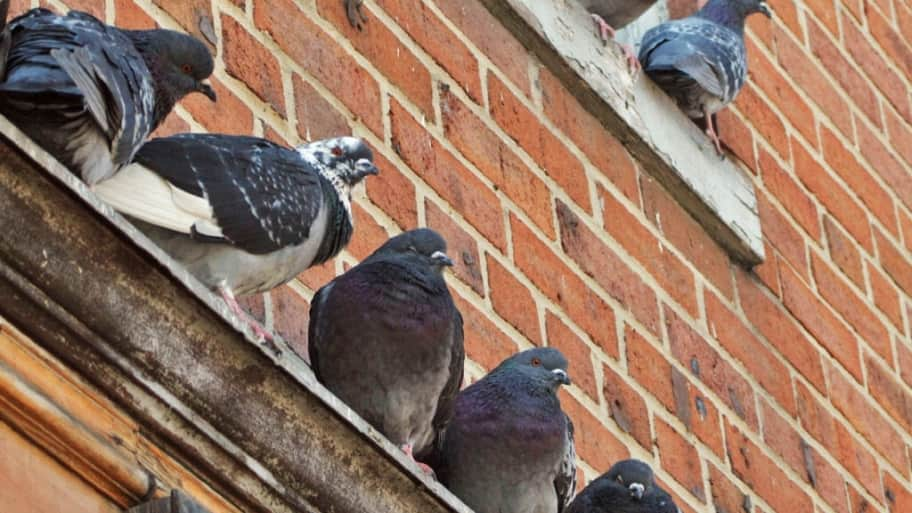How to Get Rid of Pigeons. Eliminating pigeons from your home