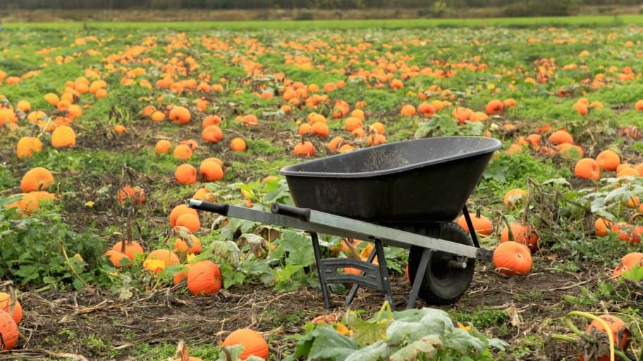 pumpkin patch with wheelbarrow in forefront