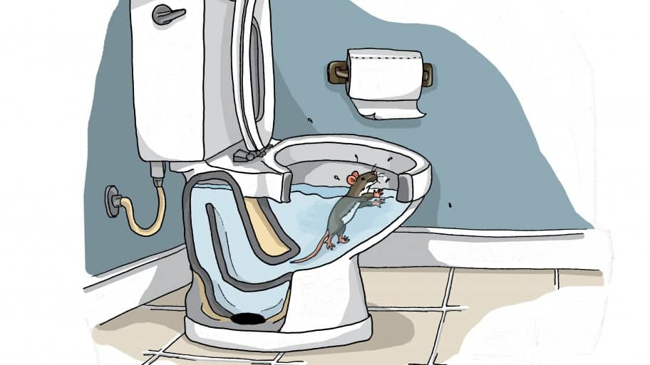 Rat in toilet