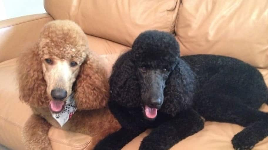Member Photo Poodles Posing Post Grooming Angies List