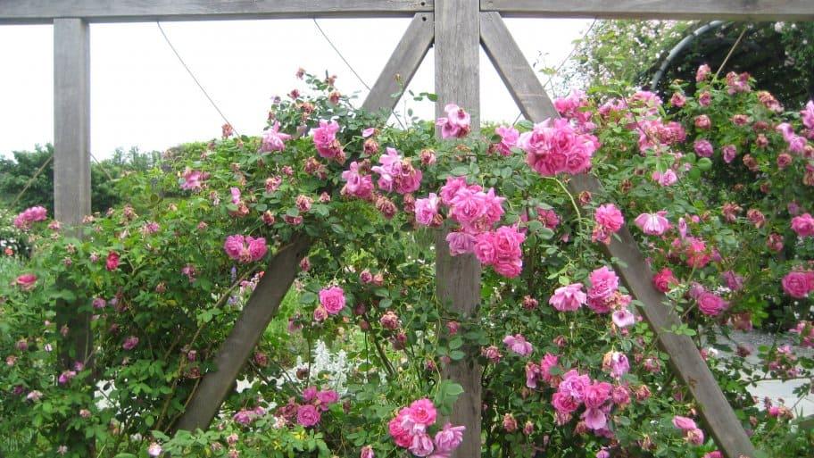 pink roses climbing on wood trellis