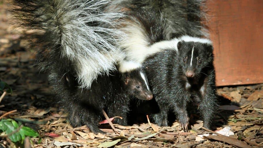 two skunks outside house