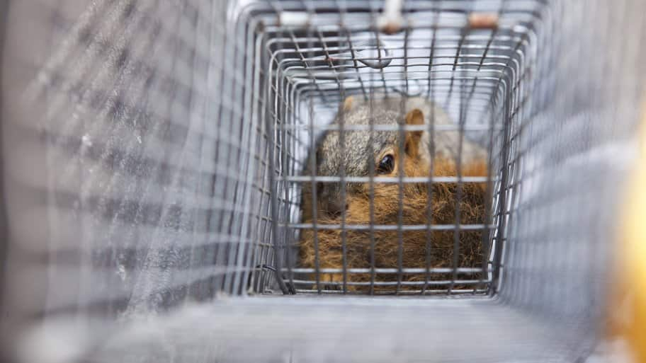 squirrel cage for rodent control