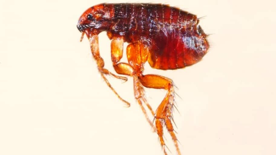 How To Get Rid Of Fleas In Your Home Angie S List