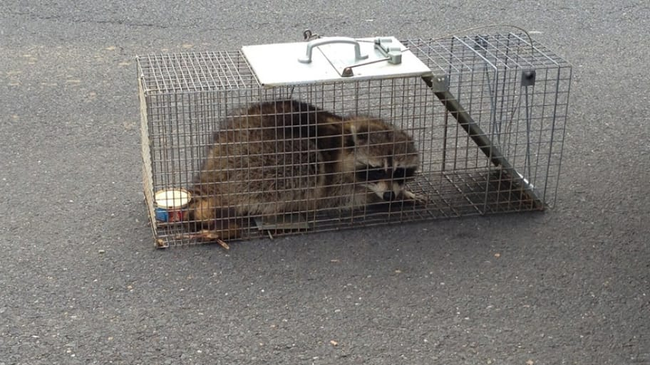 How to Get Rid of Raccoons | Angie's List