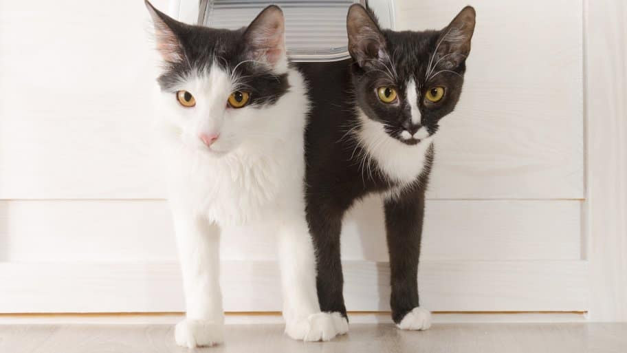 two black and white cats coming through cat door & Warning Signs of Cat Heart Disease | Angie\u0027s List Pezcame.Com