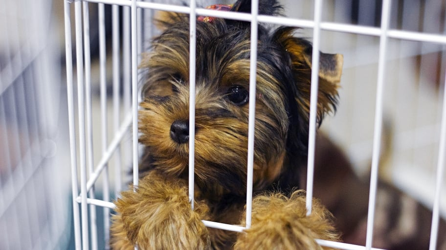 A Yorkshire Terrier puppy looks out of a cage