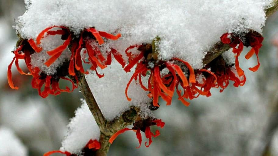 witchhazel covered in ice