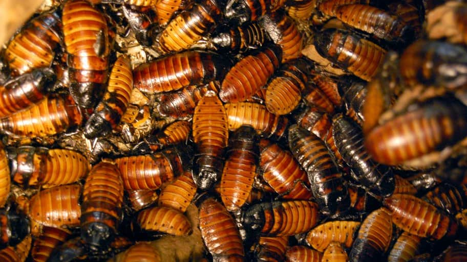 An intrusion of cockroaches.